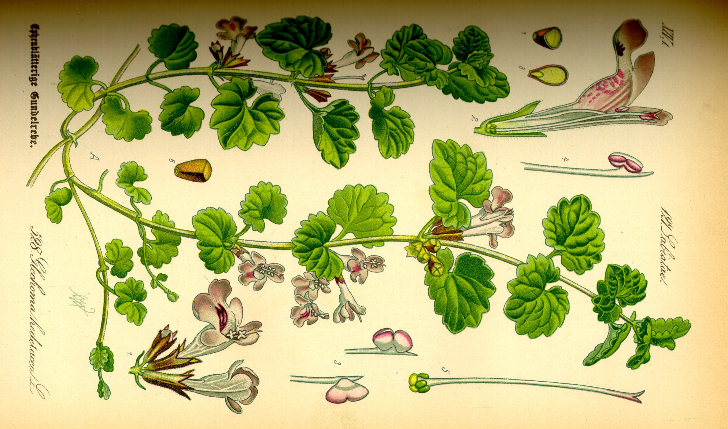 Introducing Glechoma hederacea, the most surprising ingredient to elevate a Gin and Tonic